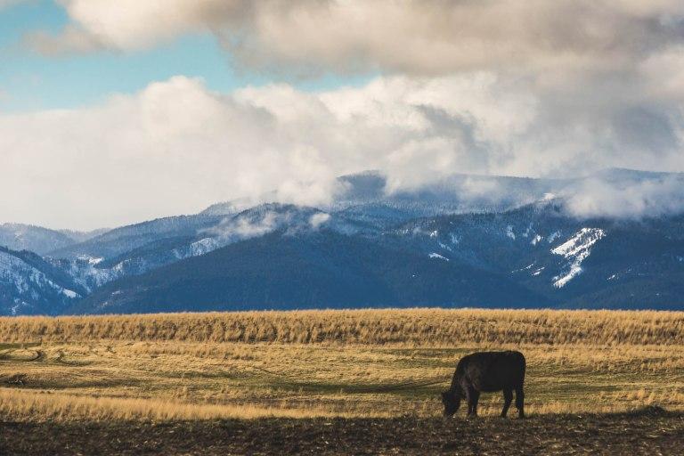 White river falls-cows-9857